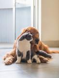 Golden Hound and British short-haired cat - 237571017