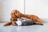 Golden Hound and British short-haired cat - 237572218