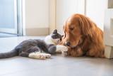 Golden Hound and British short-haired cat - 237572228