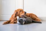 Golden Hound and British short-haired cat - 237572291
