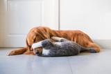 Golden Hound and British short-haired cat - 237572444