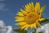 Bright yellow sunflower on blue sky background