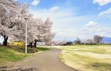 桜の花咲く公園 - 237588020