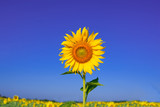 Fototapeta Kwiaty - Sunflower in front of blue sky © sakda