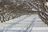Snow-covered apple trees in an orchard on a winter day