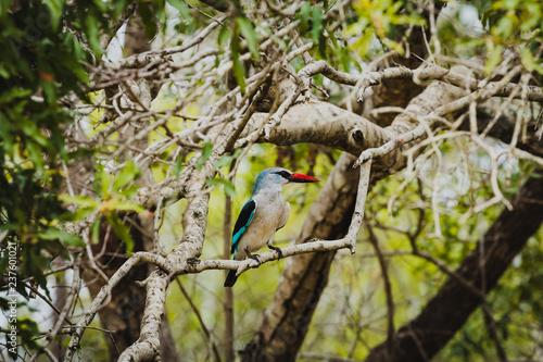 Leinwandbild Motiv Schöner Senegalliest Eisvogel (Kingfisher) aufgenommen im Krüger Nationalpark in Südafrika - Halcyon senegalensis