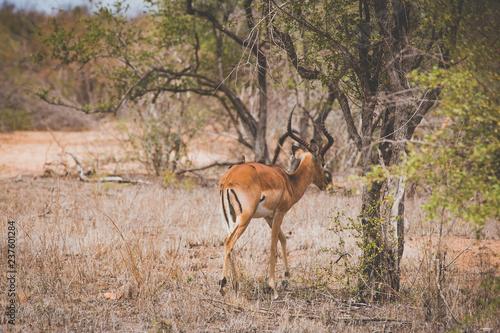 Leinwandbild Motiv Schönes Impala mit zwei Madenpicker Vögeln im Krüger Nationalpark in Südafrika