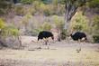 Leinwandbild Motiv zwei schöne Vogel Strausse im Krüger Nationalpark in Südafrika