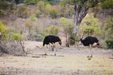 zwei schöne Vogel Strausse im Krüger Nationalpark in Südafrika