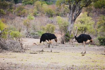 zwei schöne Vogel Strausse im Krüger Nationalpark in Südafrika © Markus