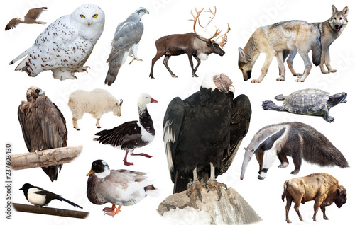 set of north american animals isolated