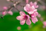 wild flowers sakura bush - 237607855