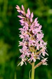 Close up of a common spotted orchid (dactylorhiza fuchsii)