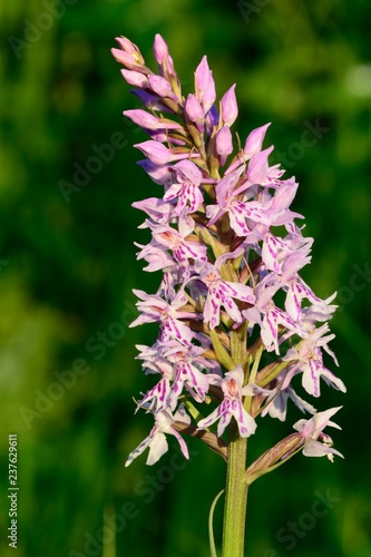 Close up of a common spotted orchid (dactylorhiza fuchsii) - 237629611