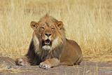 gähnender Mähnenlöwe (panthera leo) im Etosha Nationalpark in Namibia