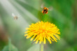 Quadro Honey bee collecting nectar from dandelion flower in the summer or spring time. Sunny day