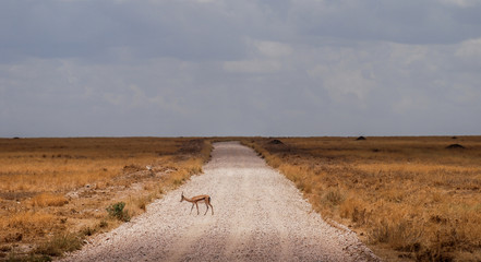 African antelope in the wild in the Sarengeti National Park in Tanzania, Africa. African panoramic scenery landscape