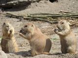 Prairie dogs - 237652024