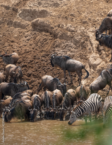 wildebeests and zebras migration