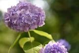 purple flower - 237666235