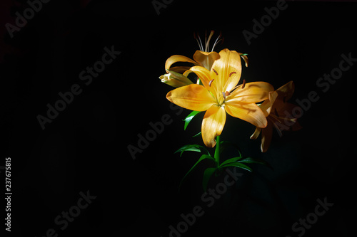 Yellow beautiful lily on a black isolated background. Copy space. Selective focus. Place for text and design.