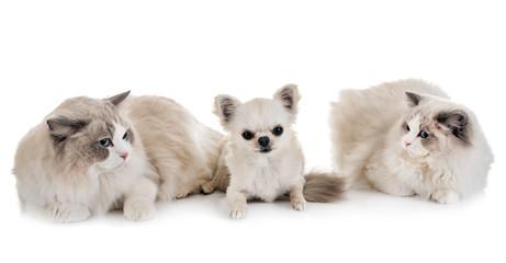 ragdoll cats and chihuahua