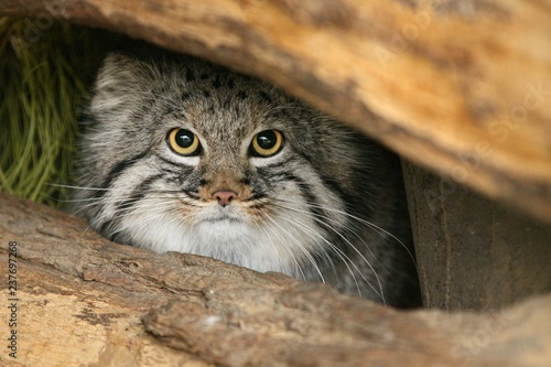 Beautiful Manul cat in the shadow of his den. Manul in zoo during the lunch time. Wild scene with captive animal. Amazing wild cat. Otocolobus manul.