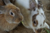 Rabbit eat morning glory and carrot. - 237702459