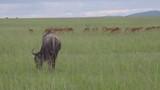 A blue wildebeest grazes through the tall grass near a herd of Impalas in Mara Maasai national park - 237706285