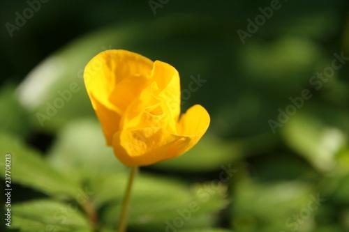 Forest yellow poppy - 237708213