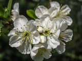 Close-up of white cherry flowers blossom in spring. A lot of white flowers in sunny spring day. Selective focus.