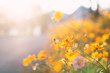 Yellow cosmos flower blossom in a garden with sunlight - 237714826