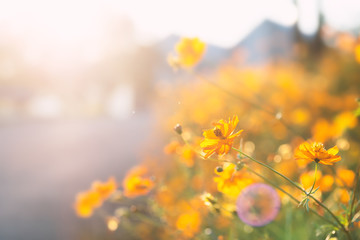 Yellow cosmos flower blossom in a garden with sunlight