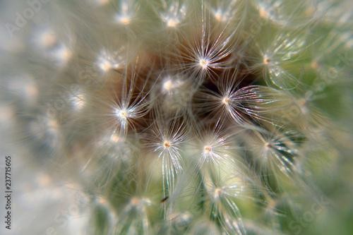 dandelion on black background - 237715605