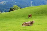 drei Kühe im Sommer auf einer grünen Weide im Allgäu  - 237716298