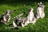 Ring-tailed Lemur, Lemur catta, heats in the sun - 237723263
