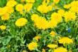 beautiful yellow dandelions in the natural environment - 237726853