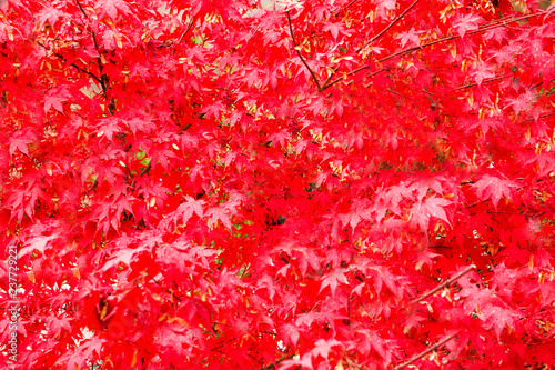 tree with red maple in the Park - 237729221