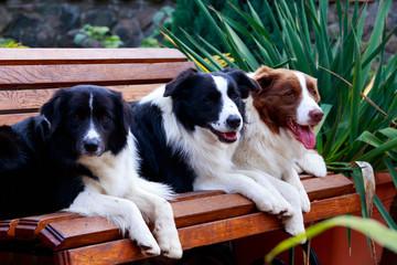 Three dogs Border Collie