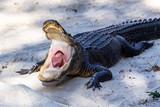 Alligator mit geöffneten Mund - 237738409