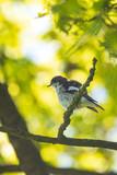 Closeup of a European pied flycatcher bird (Ficedula hypoleuca) perching on a branch, singing. - 237748606