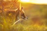 Wild red fox Vulpes Vulpes evening sunset - 237748843