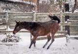 Young bay horse frolics in the snow in winter