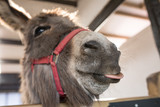 Cheeky donkey with tongue sticking out