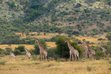 Many giraffes gathering at Pilanesberg National Park