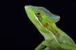 Eastern casquehead iguana (Laemanctus longipes)