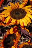 Sunflowers Cluster Closeup