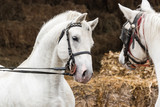 Pair of two beautiful white horse - 237771239