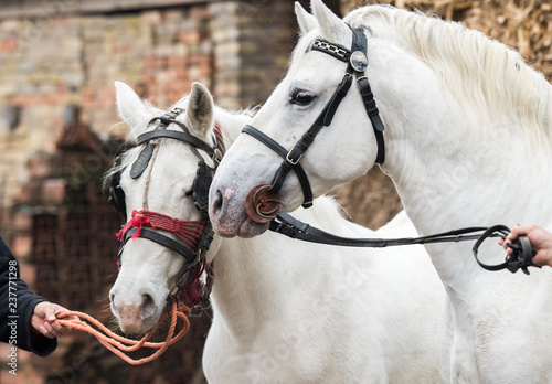 Pair of two beautiful white horse