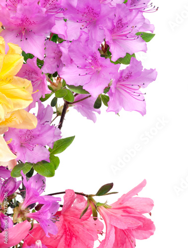 Yellow and purple Japanese Azalea isolated on white background. Selective focus. Bunch of many light yellow and purple color flowers. - 237780616